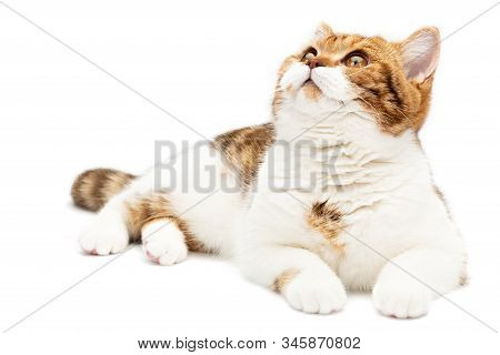 British Cat Lying Isolated On White Background. Young Shorthair Cat Lying, Front View With White And