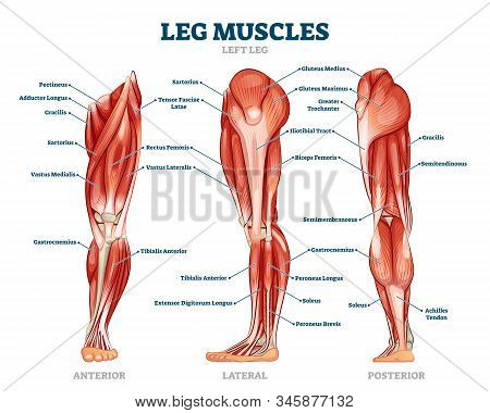Leg Muscle Anatomical Structure, Labeled Front, Side And Back View Diagrams. Vector Illustration Inf