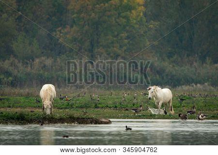A White Camargue Horse Walking Through Marsh (grado, Italy)