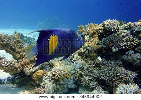 Yellowband  Angelfish  Pomacanthus Maculosus, Also Known As The Halfmoon Angelfish,coral Fish