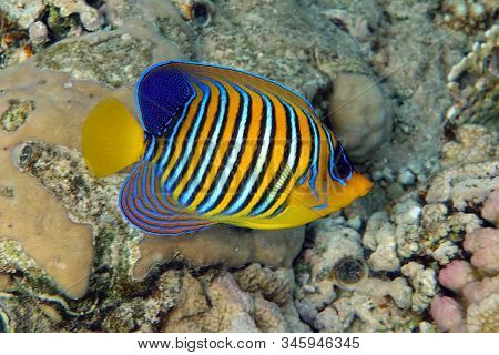 Angel Fish, Royal Angelfish, Pygoplites Diacanthus  In Tropical Coral Reef
