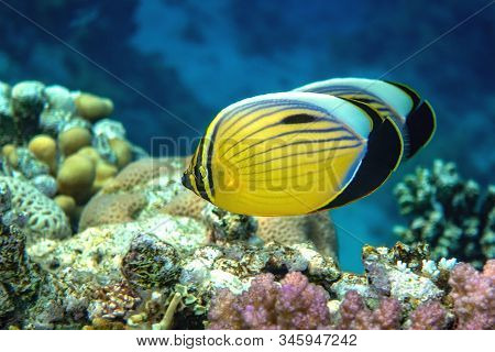 Blacktail Butterflyfish Swimming Around Fire Corals. Close Up