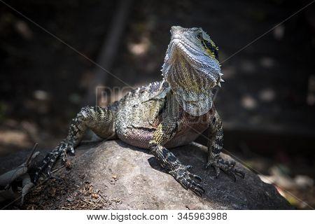 Water Dragon Basking In Pool Of Sunshine In Australia