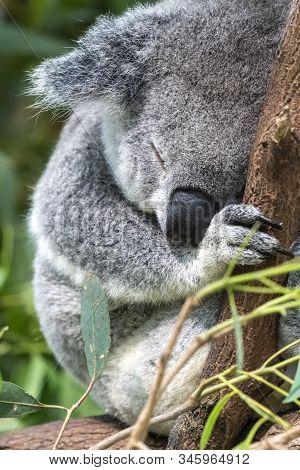 Koala Sleeping In Eucalyptus Tree In Australia