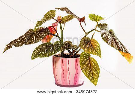 Begonia Maculata Wightii, Polka Dot Begonia, Tropical Foliage Nature Background, Close Up.