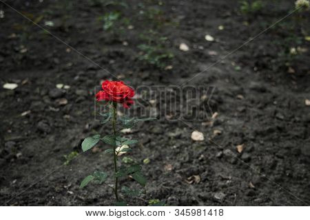 Single Red Rose Flower Growing Up From Dry Dark Wasteland Neglected Ground, Unfocused Background Of