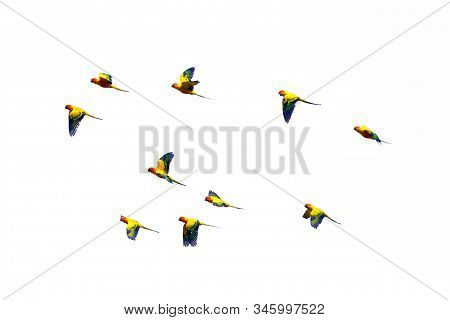 The Jandaya Parakeet Or Jenday Conure (aratinga Jandaya) Flying. A Flock Of Parakeets Flying In The