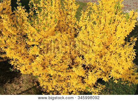 Bright yellow bushes of Forsyth delight people with their beauty poster