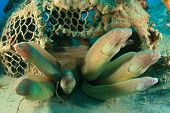 Grey Moray Eels in an old fish trap poster