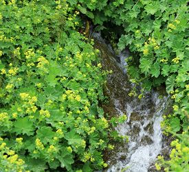 Organic Alchemilla Vulgaris Side Of Creek On Mountains