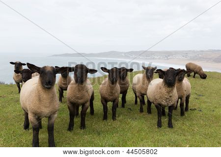 Sheep with black face and legs