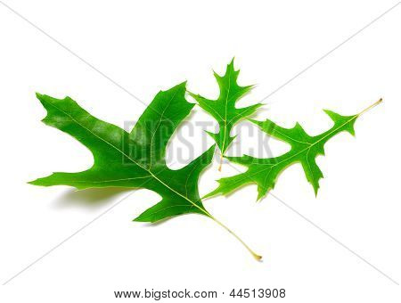 Green leafs of oak (Quercus palustris) on white background poster