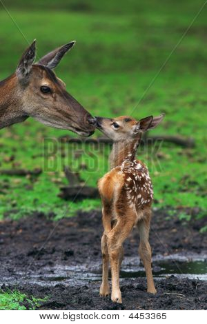 Deer With Just Born Calf