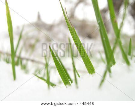 Blades Of Grass In Snow