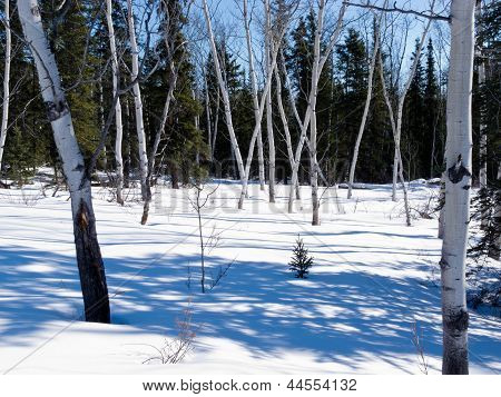 Aspen Trees Groove In Winter Boreal Forest Taiga