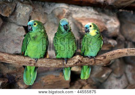 Three Blue-fronted Amazon (amazona Aestiva)