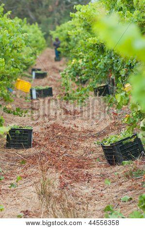Grape Harvesting In The Vineyards At Stellenbosch