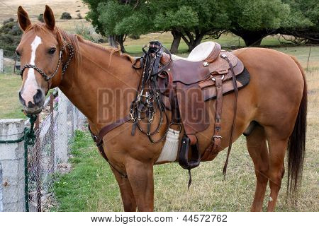 A Quarter horse waiting to go to work.