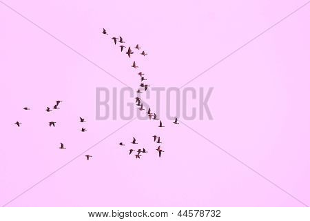 Flock of geese flying in a formation