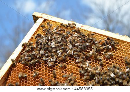 honeycomb full of bees against blue sky poster