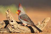 Male Pyrrhuloxias (Cardinalis sinuatus) perched on a log - Texas poster