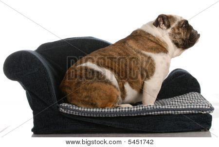 english bulldog sitting on a blue dog bed on white background poster