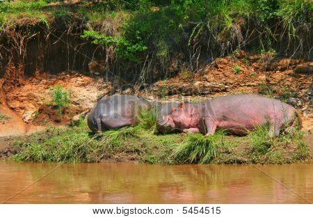 Sleeping hippos. Africa. Kenya. Masai Mara. Peace poster