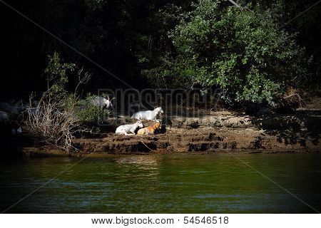 Feral goats hiding at the shade on Danube shore Romania. The people living here let the animals free for the summer. poster