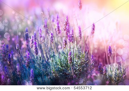 Lavender. Beautiful Lavender Flower Field. Growing and Blooming Lavender outdoors