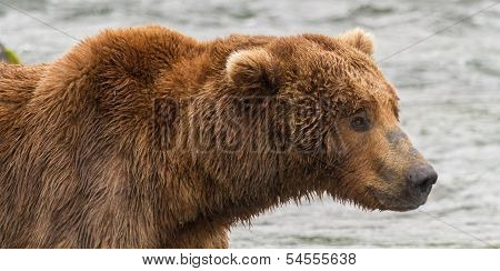 Portrait of a Grizzly Bear at Katmai National Park, Alaska