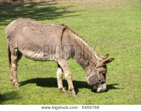 A nice donkey eating grass at the zoo. poster