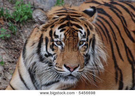 Tiger Lies
