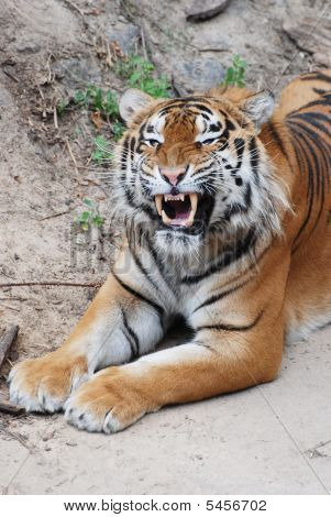 A Yawning Tiger Lies