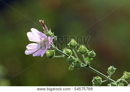 Wild Violet Malva Sylvestris