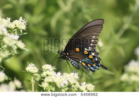 A Black Tiger Swallowtail