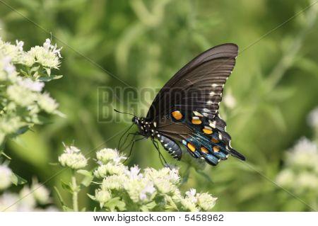 Ein schwarzer Tiger Schwalbenschwanz