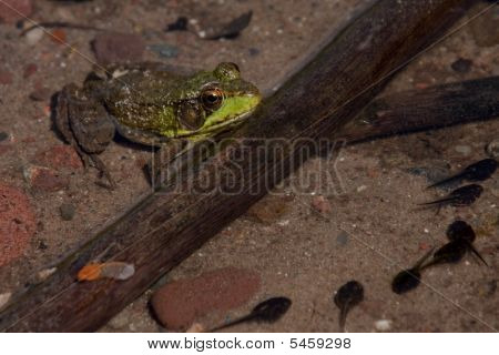 Frog In A Lake