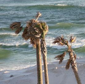 Palm Trees In Destin, Florida