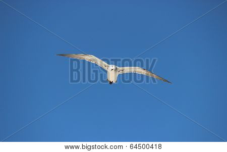 A sea gull soars of the beach, looking for food poster