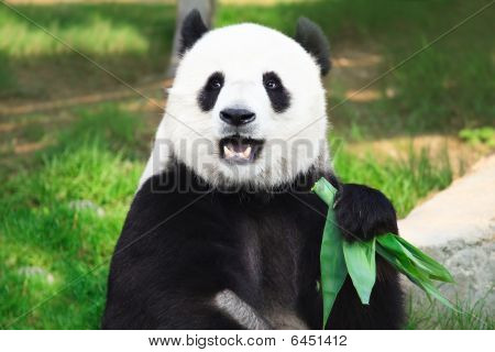 Giant panda is eating green bamboo leaf poster