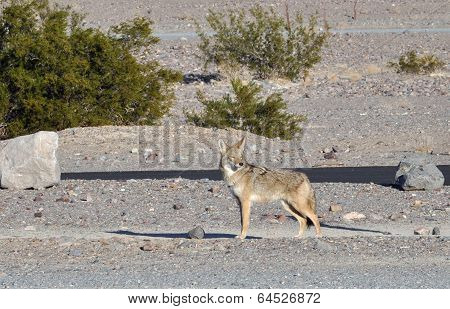 Wild coyote Run Through Death Valley in California poster