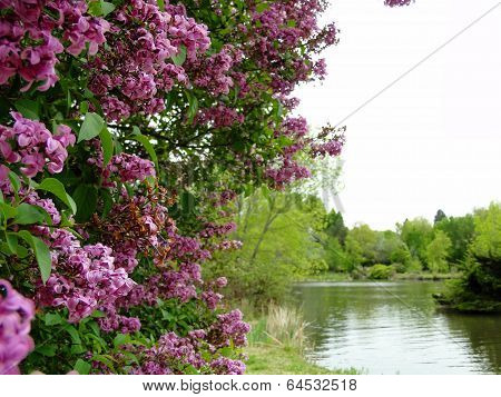 Lilacs in Boise City Park