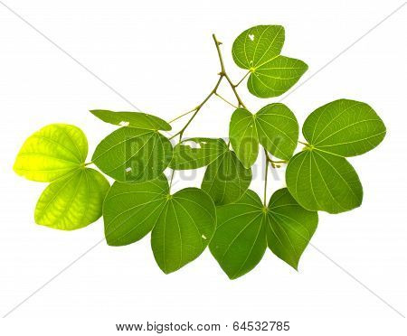 Leaves Of A Tree On A White Background.(burma Padauk Leaves)