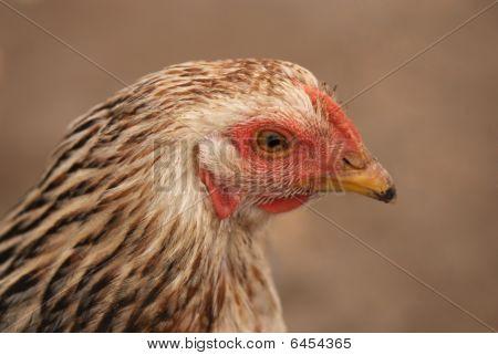 closeup of brown hen head