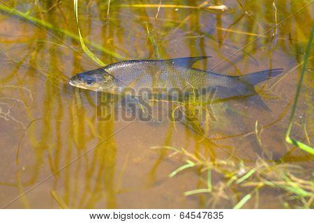 White-eye Fish Underwater