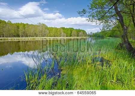 Spring Landscape With Sweet Flag In The Narew River. Nature Reserve.