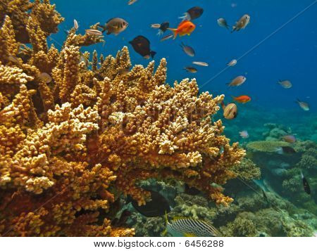 Branching Coral And Fish Of The Great Barrier Reef Australia