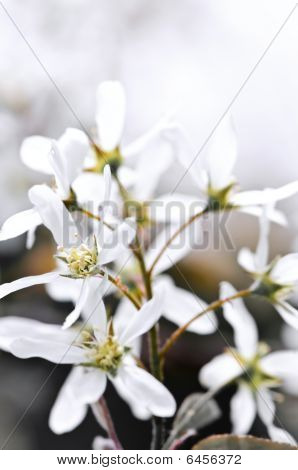 Gentle white spring flowers of the serviceberry shrub poster