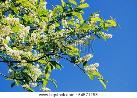 Branch And Blossom Of Bird Cherry (prunus Padus). Closeup.