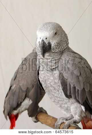 Beautiful grey parrots